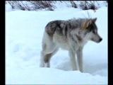 Жизнь с волками.2